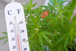 Prevent and Treat Heat Stressed Cannabis Plants