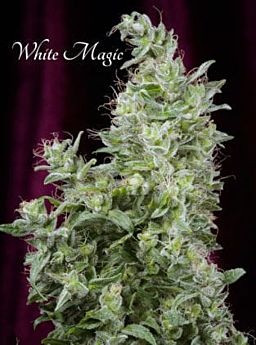 mandala white magic
