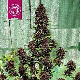 Tropicalseedscompany - Smooth Smoke - Feminised - Plant