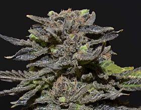 CBD Seeds - Magma