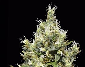 CBD Seeds - Northern