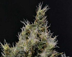 CBD Seeds - Vanilla Haze