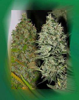 Connoisseur Genetics Seedbank OG Jones Regular Plant