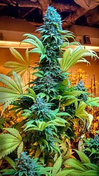 brothers grimm hashplant