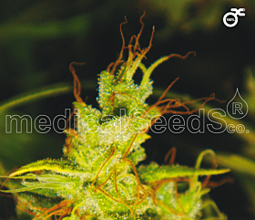 Medical Seeds 2046 Feminized Seeds