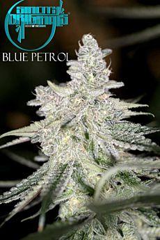 Sin City Seeds Blue Petrol