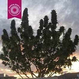 Tropicalseedscompany - Ciskei - Regular - Plant