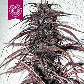Tropicalseedscompany - Old Congo - Regular - Plant