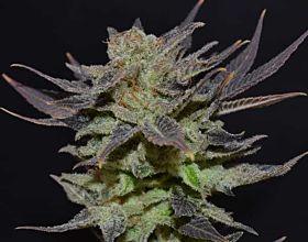 CBD Seeds - Auto Lavender