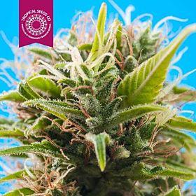 Tropicalseedscompany - Swacky - Regular - Plant