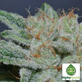 Alphakronik Genes Seedbank Belka Regular Bud