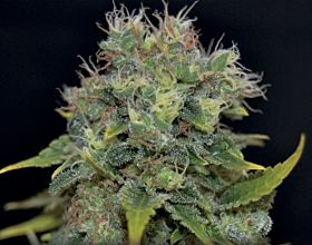 C B D SEEDS Auto Yumbolt Feminized Seeds
