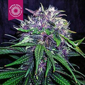 Tropicalseedscompany - Red Afro - Feminised - Plant