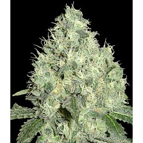 DNA Genetics Limited Collection 91 Krypt Regular Seed