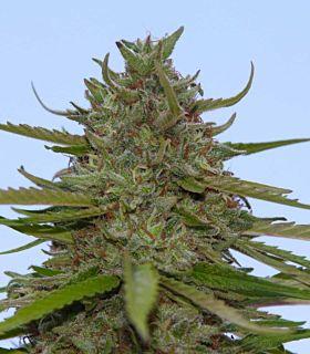 Paradise Seeds Acid Feminised Seeds