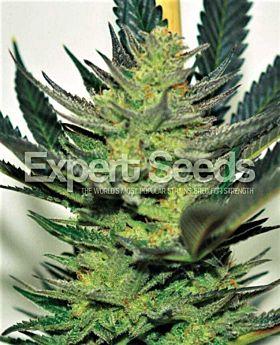 Expert Seeds Afghan Skunk Fem