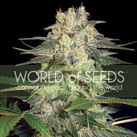 afghan kush ryder world of seeds
