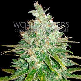world of seeds Afghan Kush x Black Domina