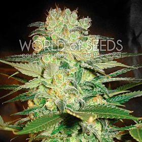 world of seeds Afghan Kush x White Widow