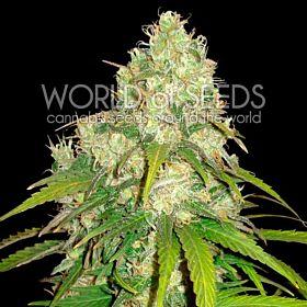 world of seeds Afghan Kush x Yumbolt