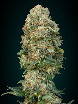 Advanced Seeds Afghan Skunk Feminized