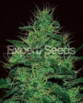 Expert Seeds Amnesia Haze Auto Fem