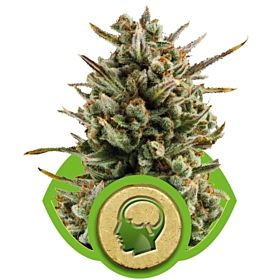 Royal Queen Seeds Amnesia Haze Automatic Feminised Seeds
