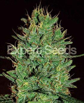 Expert Seeds Amnesia Haze Fem