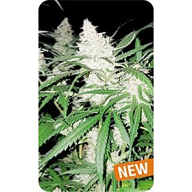 Dispensario Seeds Amnesia Limonade Fem