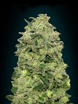 Advanced Seeds Auto Afghan Skunk Feminized