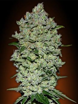 Advanced Seeds Auto Bio Diesel Mass Feminized