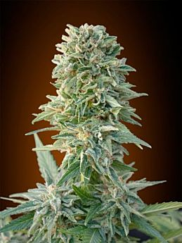 Advanced Seeds Auto Jack Herer
