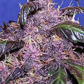Original Sensible Seeds Auto Purple Feminized Seeds