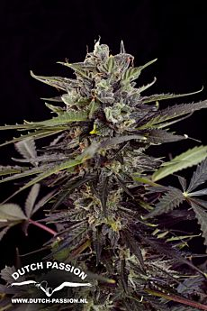 Dutch Passion Auto Blueberry Auto-Flowering Feminised Seeds