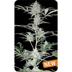 Dispensario Seeds Auto Hashplant XXL Fem