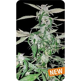 Dispensario Seeds Auto Island Diesel Fem
