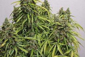 Dutch Passion Auto Mazar Feminised Seeds