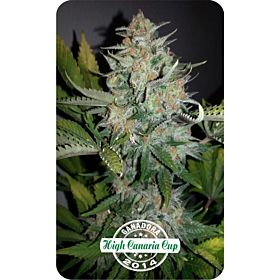 Dispensario Seeds Auto Pain No More Fem