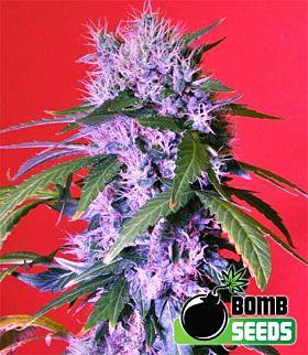 Bomb Seeds Berry Bomb Auto Feminized Plant