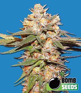 Bomb Seeds Big Bomb Auto Feminized