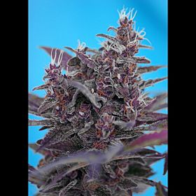 Sweet Seeds Black Cream Auto Fem