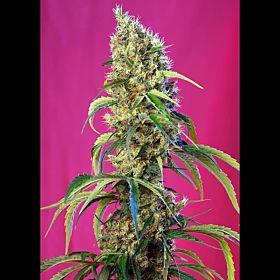 Sweet Seeds Black Jack CBD Fem