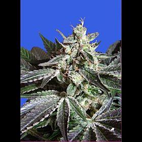 Sweet Seeds Black Jack Fem