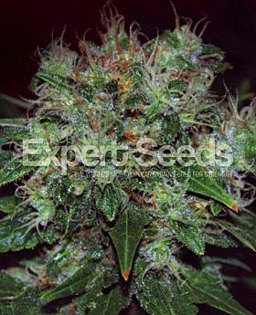 Expert Seeds Blue Funk Auto Fem