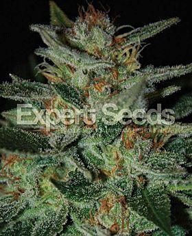 Expert Seeds Blue Funk Fem