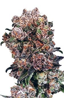 Dutch Passion Blueberry Feminised Seeds