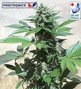 Positronics Seeds Blue Rhino Feminised Seeds