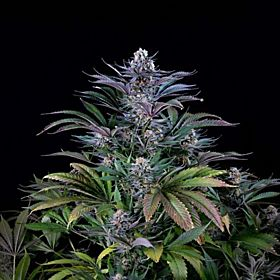 Bodhi Seeds Super Silver Hash Plant Regular Seeds