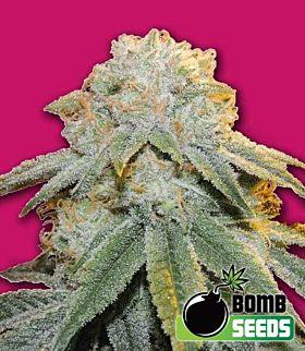 Bomb Seeds Bubble Bomb Feminized