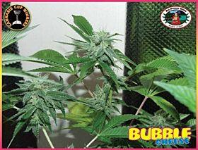 Big Buddha Bubble Cheese Feminised Seeds